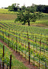 spring vineyard and oaks v