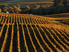 fall vineyard 26