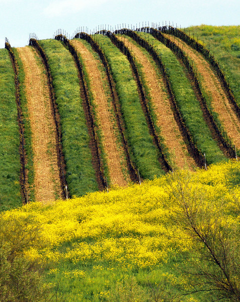 striped vineyard hillside and mustard