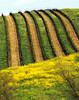 striped vineyard hillside and mustard