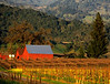 red barn mustard vineyard napa 2