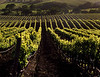carneros spring vines in sun