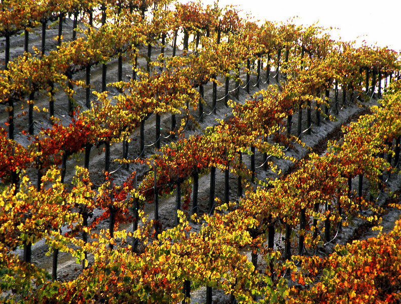 fall vineyard on hill