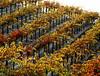 fall vineyard on hill