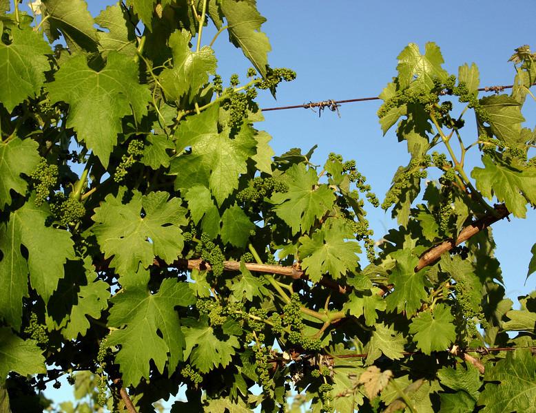 new grape buds