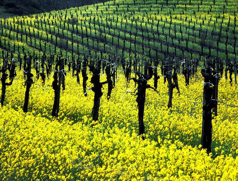 mustard field 1