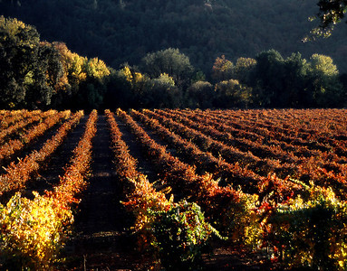 fall vineyard 12