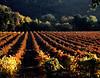 fall vineyard 12