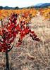 fall vineyard 26b