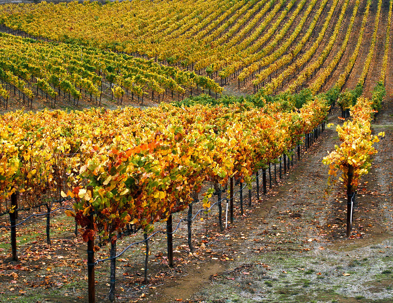 fall vineyard 22