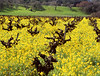 mustard vineyard oaks and green hills