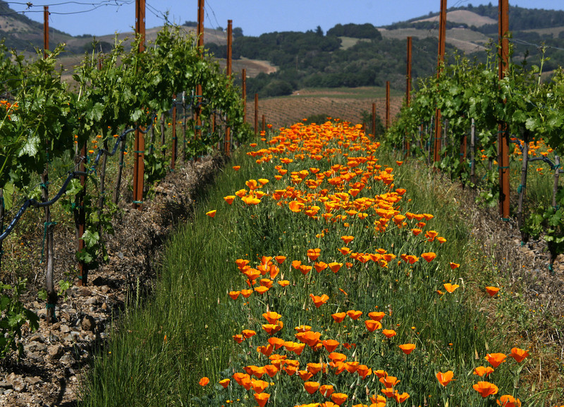 poppies vineyard 3