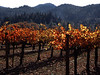 Vineyard Fall 11