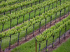 young vine rows