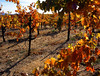 fall vineyard 6