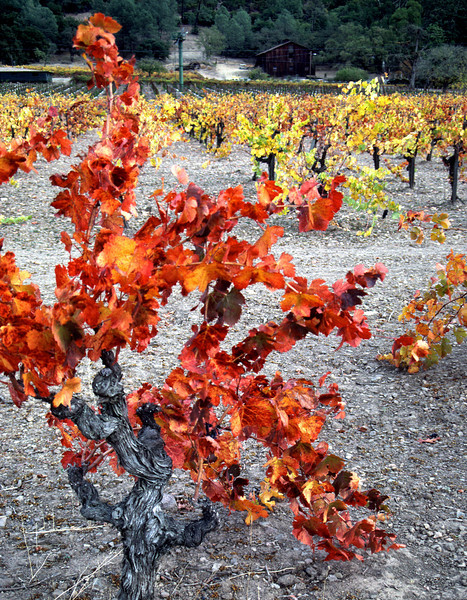 red vine 1