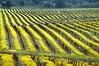 mustard vineyard 20