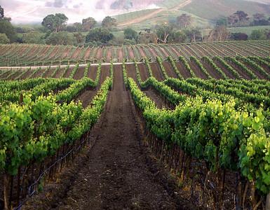 spring vineyard at dawn
