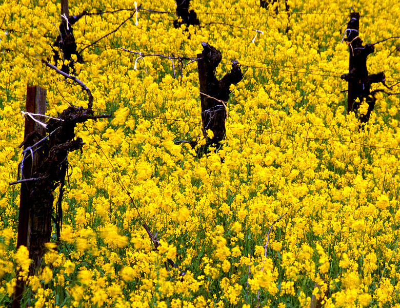 old vines in mustard