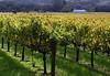 early fall vineyard and barn