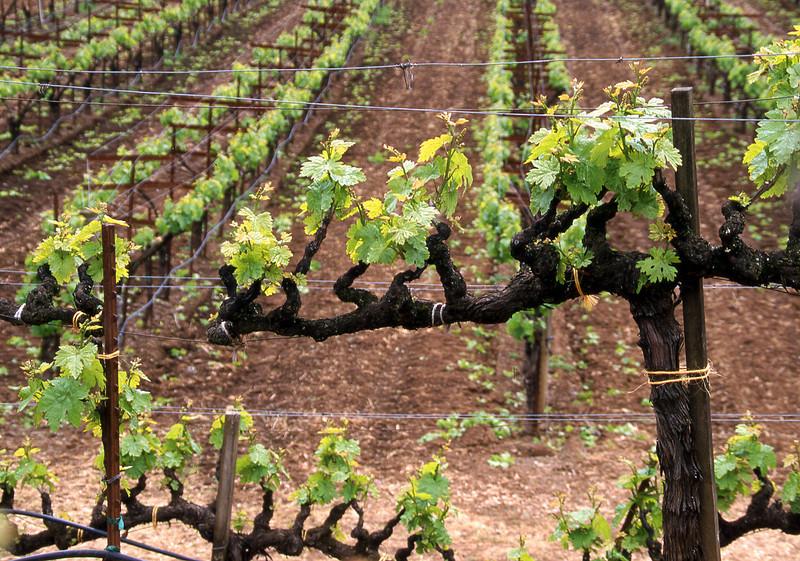 spring vineyard 11