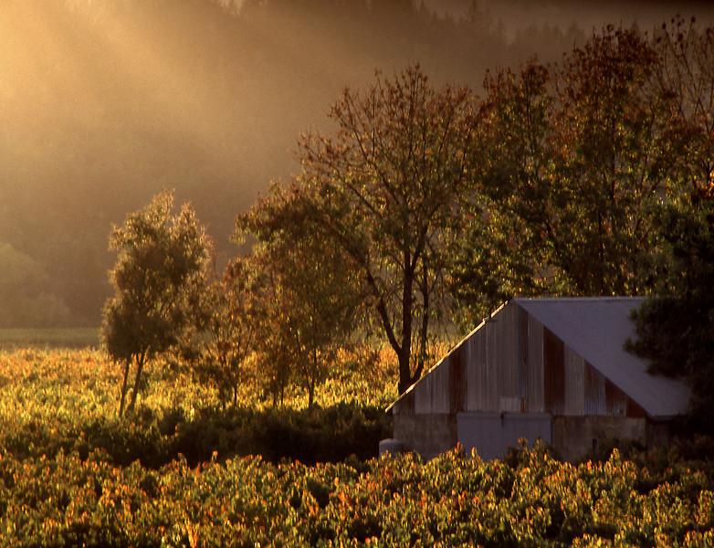 barn in fall vineyard at sunset