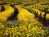 vineyard mustard 1