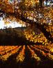 fall vineyard 23