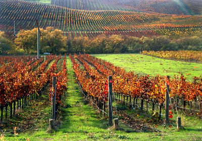fall vineyard 22b