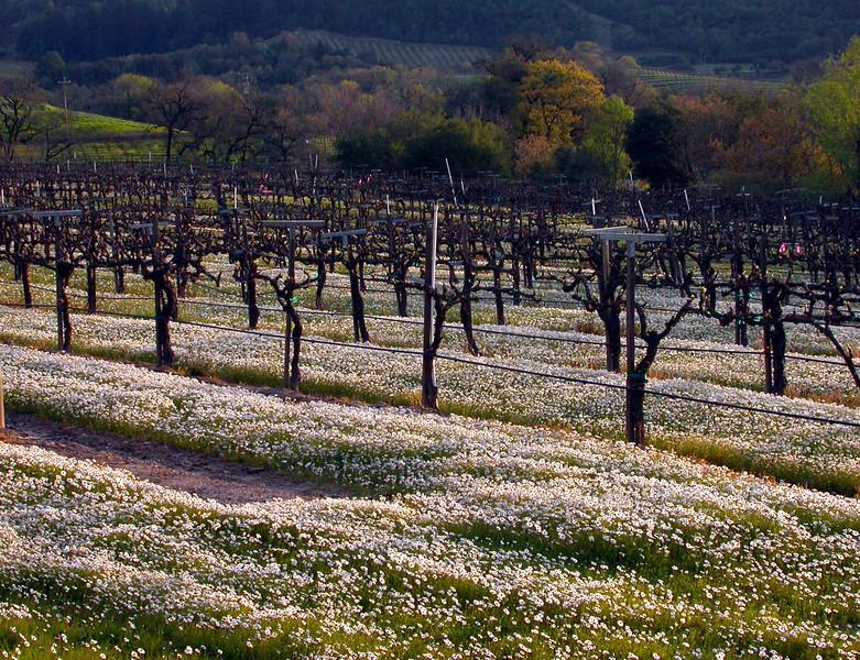 winter vineyard and white flowers