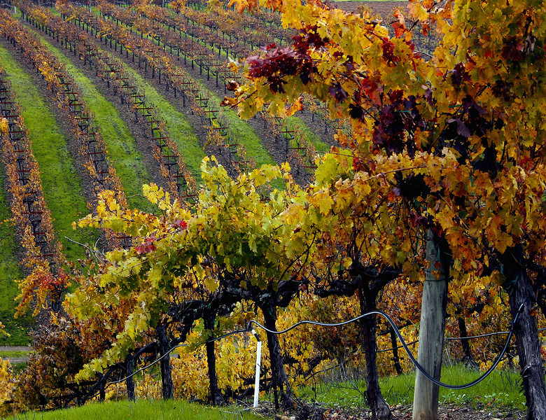 fall vineyard hillside 5