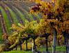 fall vineyard hillside 5