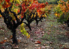 old fall vines 11