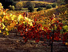 Vineyard Fall 2