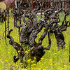 Old Grape Vine