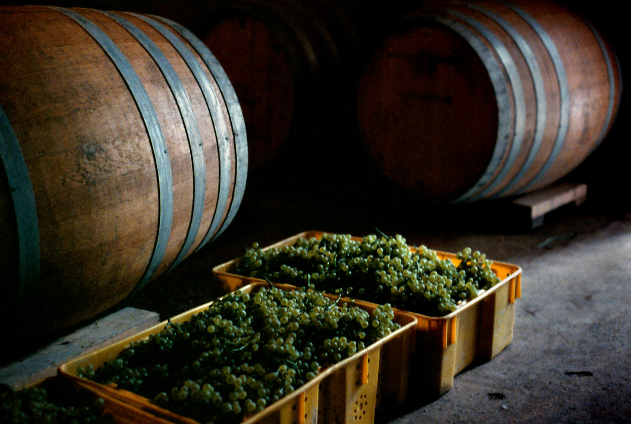 Chardonnay grapes picked in the cool of the morning, now waiting their turn to go into the press. West Park Winery, Hudson Valley, New York state, c.1987