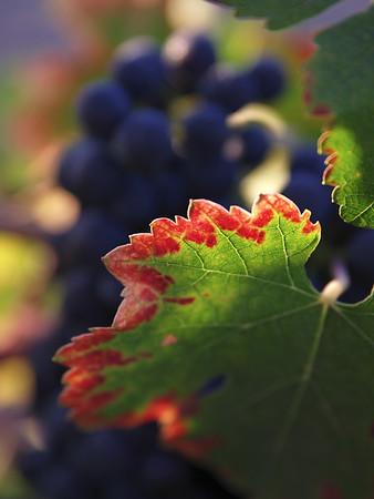 Winelight II - Autumn vineyard in Yountville.