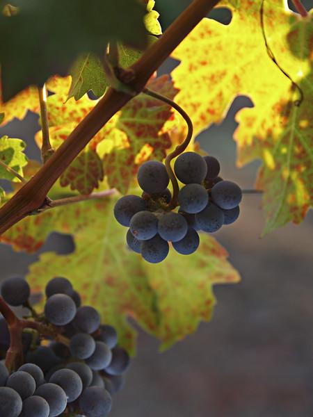 Winelight V - Autumn vineyard in Napa Valley.