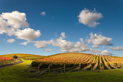 - Autumn Afternoon -  Carneros District of Napa Valley