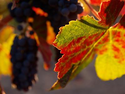 Winelight I - Autumn vineyard in Yountville.