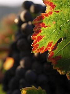 Winelight III - Autumn vineyard in Yountville.