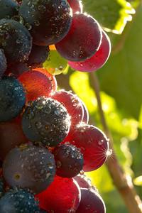 ~ A Burst of Zin ~  Zinfandel from Lamborn Family Vineyards