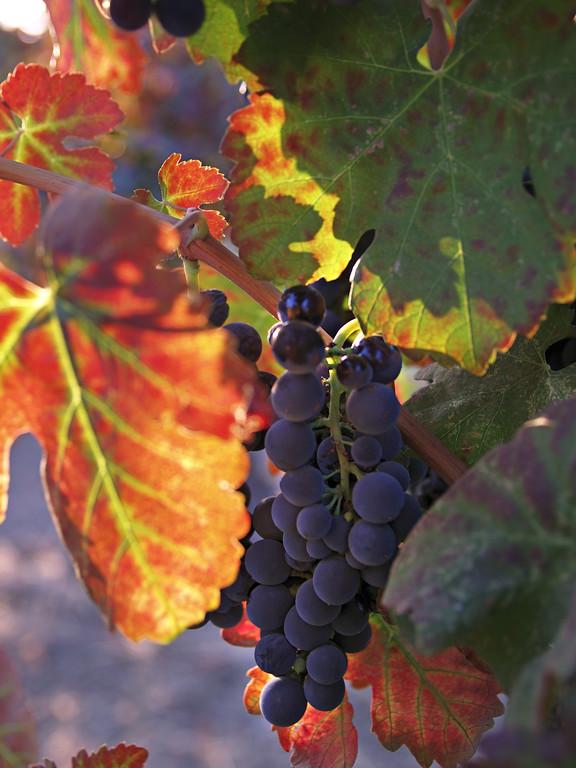 Winelight IV - Autumn vineyard in Yountville.