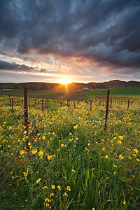 - Rapeseed Rapture -  Mustard blossoms in the Carneros District of Napa Valley area