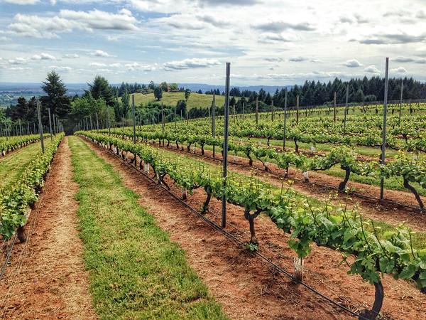 Vineyards - Willamette Valley, OR