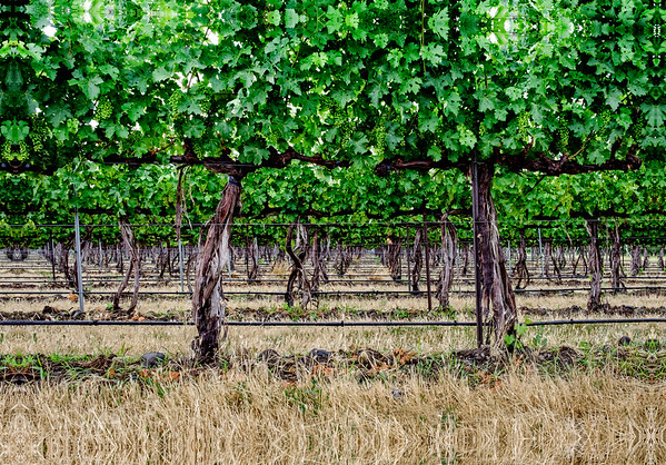 Vines - Milton Freewater, OR