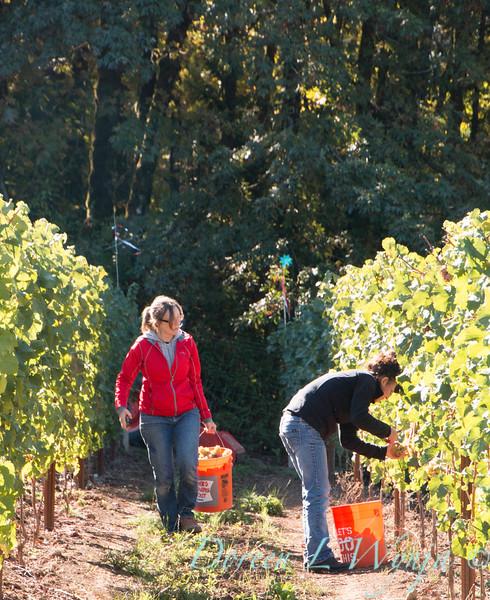 Nemarniki vineyards harvest_0269