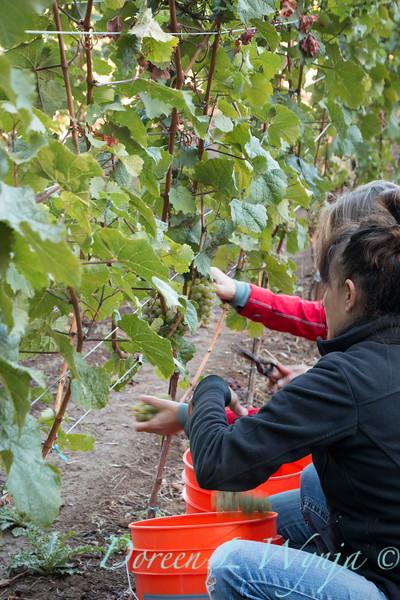 Nemarniki vineyards harvest_0251