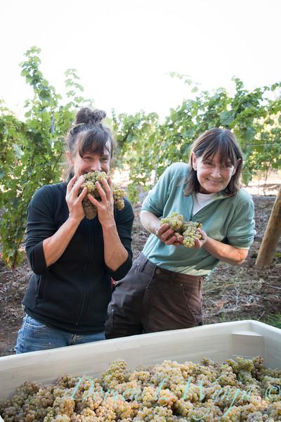 Nemarniki vineyards harvest_0274