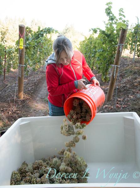 Nemarniki vineyards harvest_0262